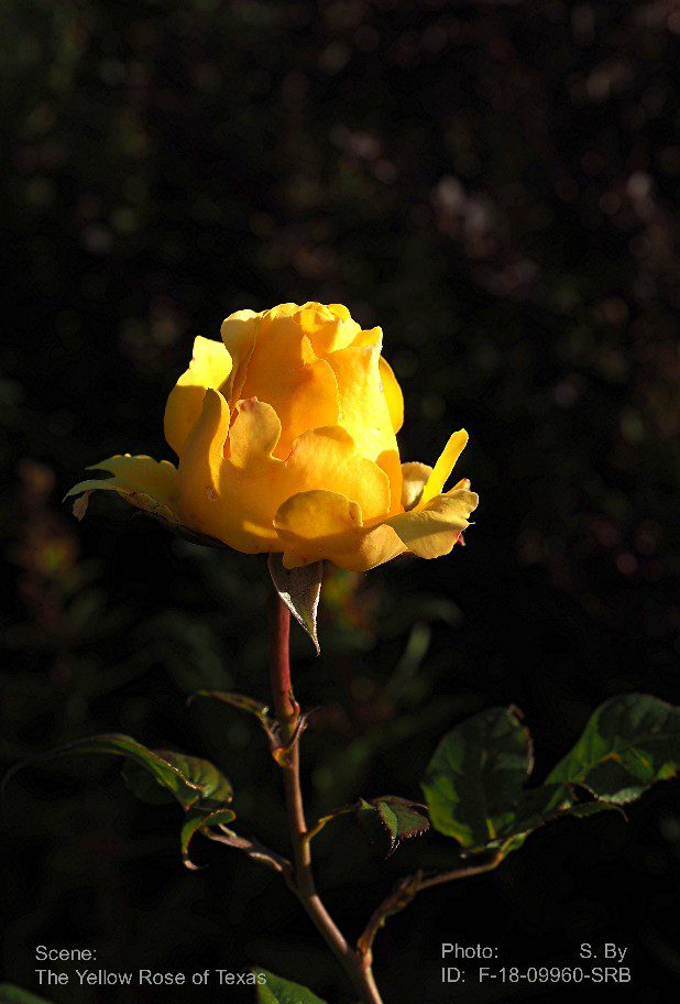 Yellow rose to texas see norway se norge there is a song named the yellow rose of texas but i really dont think the songwriter in hes wildest dreams could imagine a tropical storm of such mightylinksfo